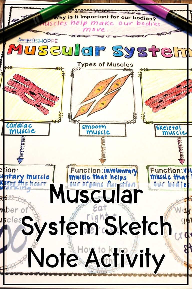 Muscular System Review Activity For Muscles Muscular
