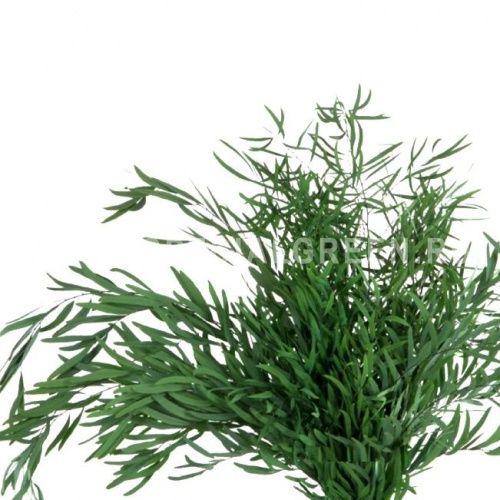 Эвкалипт Николи Eucalyptus nicholii