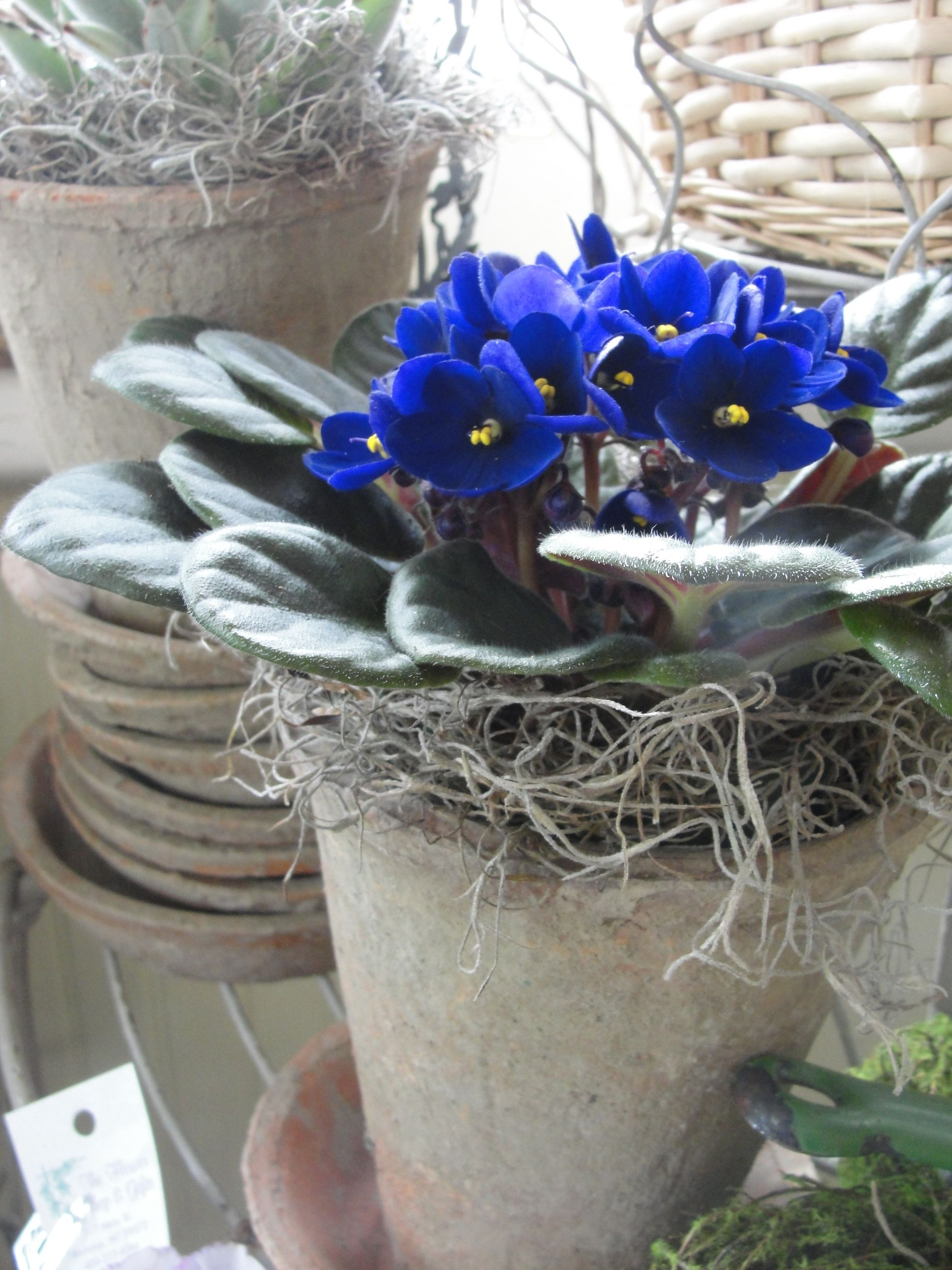 african violet African violets, Garden planters, Flower shop