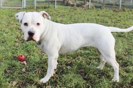 Kira Americanbulldog 2 Jahre Sportlich Meist Vertraglich Wartet Im Tierheim Hagen Tierheim American Bulldog Tiere