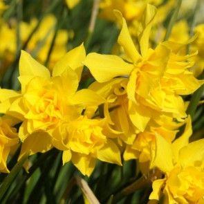 Narcissus Campernellen double