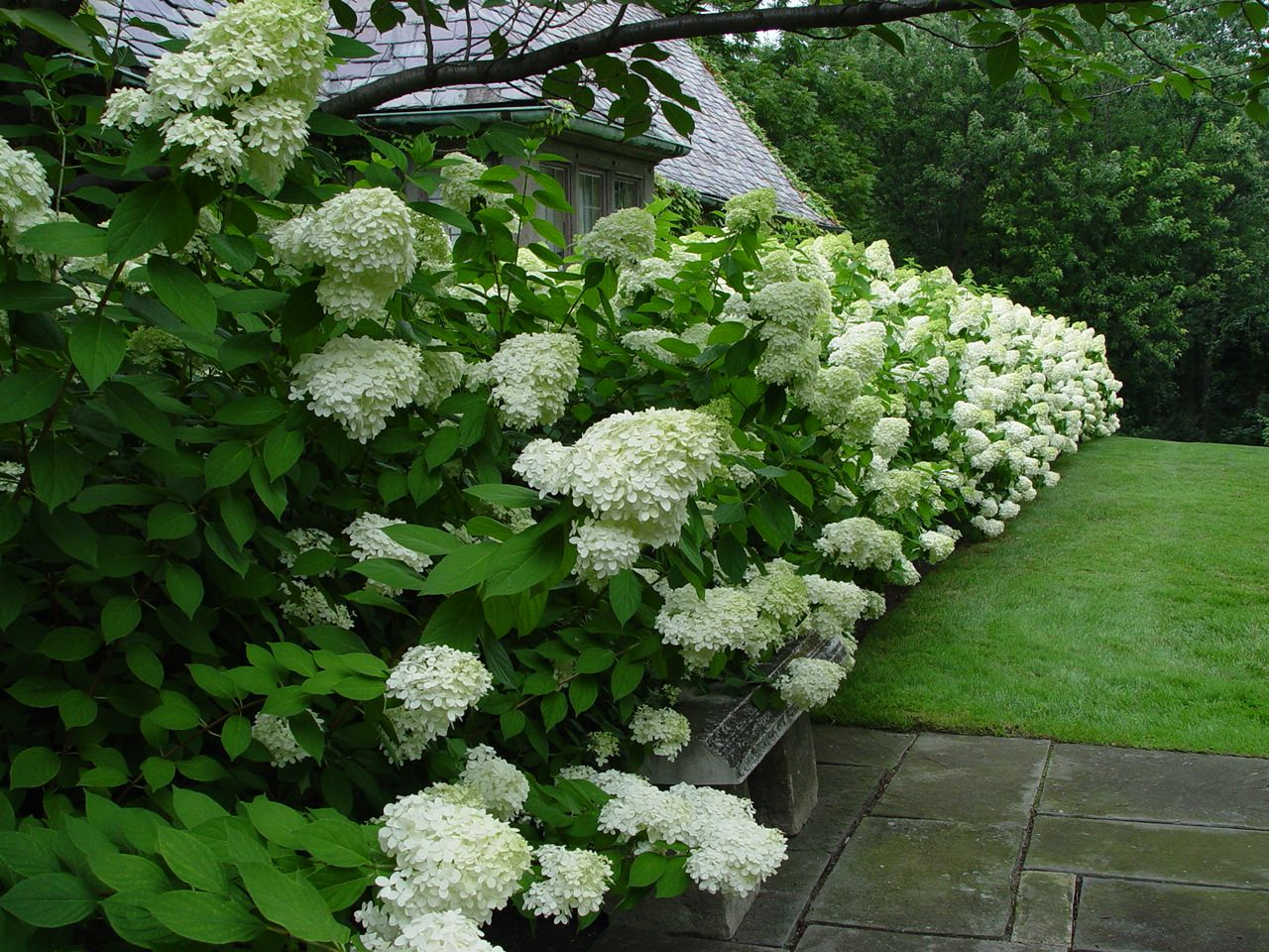 i love hydrangeas so much i think i might try a hedge like. Black Bedroom Furniture Sets. Home Design Ideas