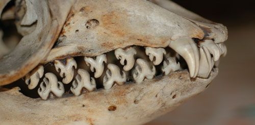 Serrated teeth of a Crabeater Seal