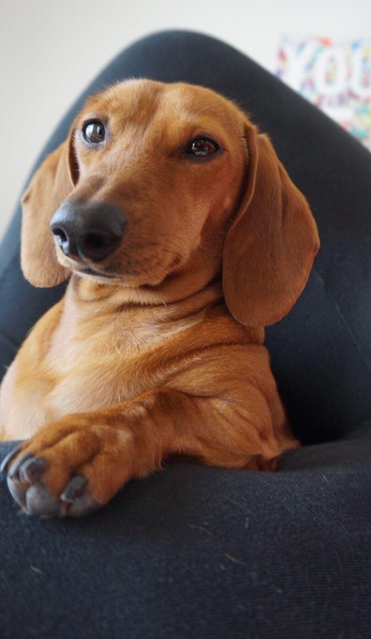 This Is Scarlett A 2 Year Old Red Mini Dachshund Mini Dachshund