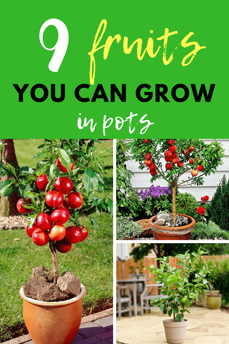 Top 9 Fruits You Can Grow In Pots Diy Morning Container Gardening Vegetables Container Gardening Planting Vegetables