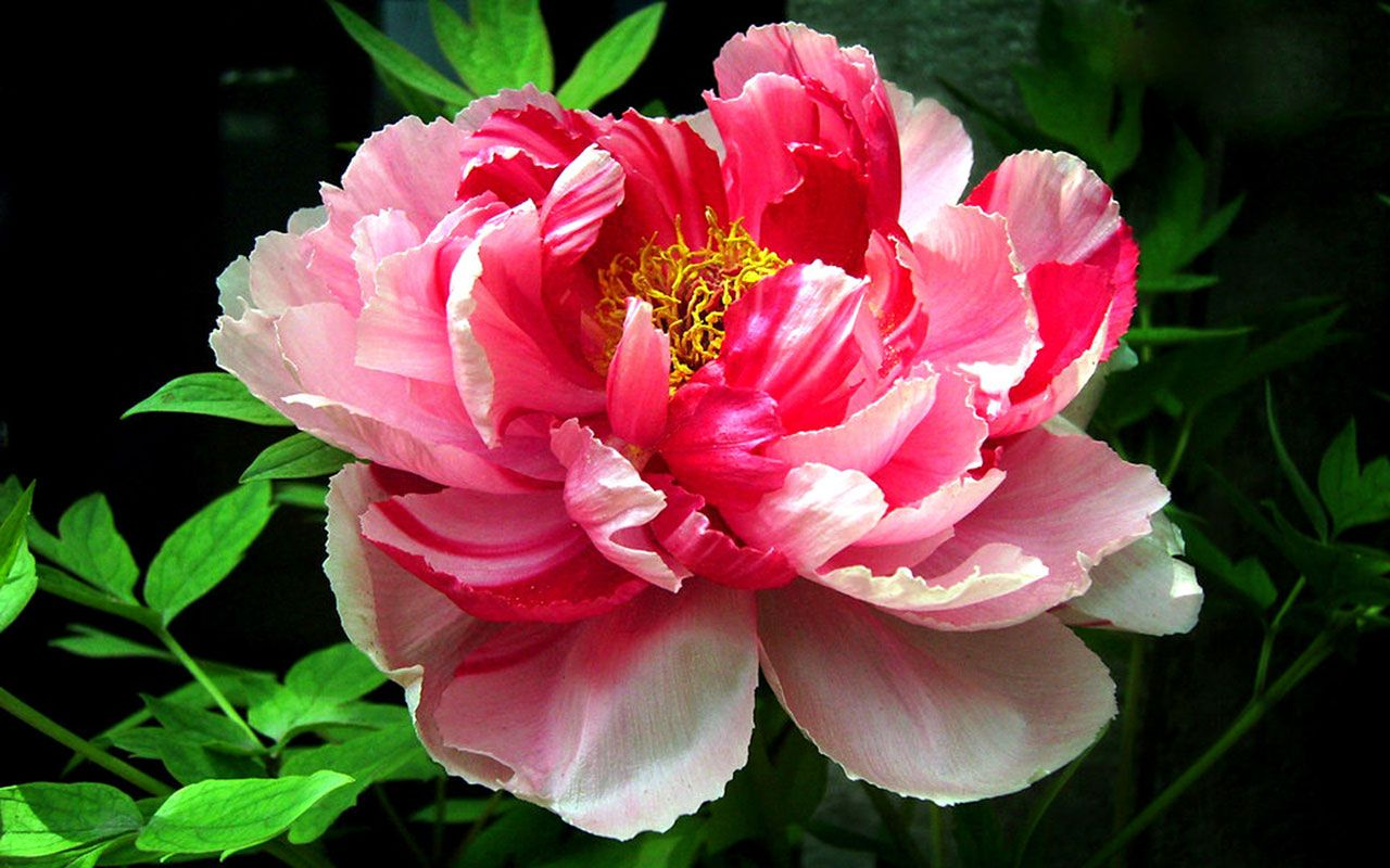 Peony flower macro photography wallpaper 6 Wallpapers 모란