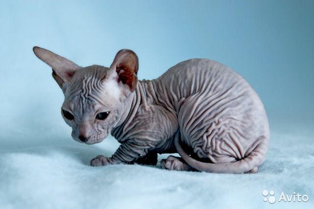 Египитская кошка   Котята, Сфинкс, Кошки