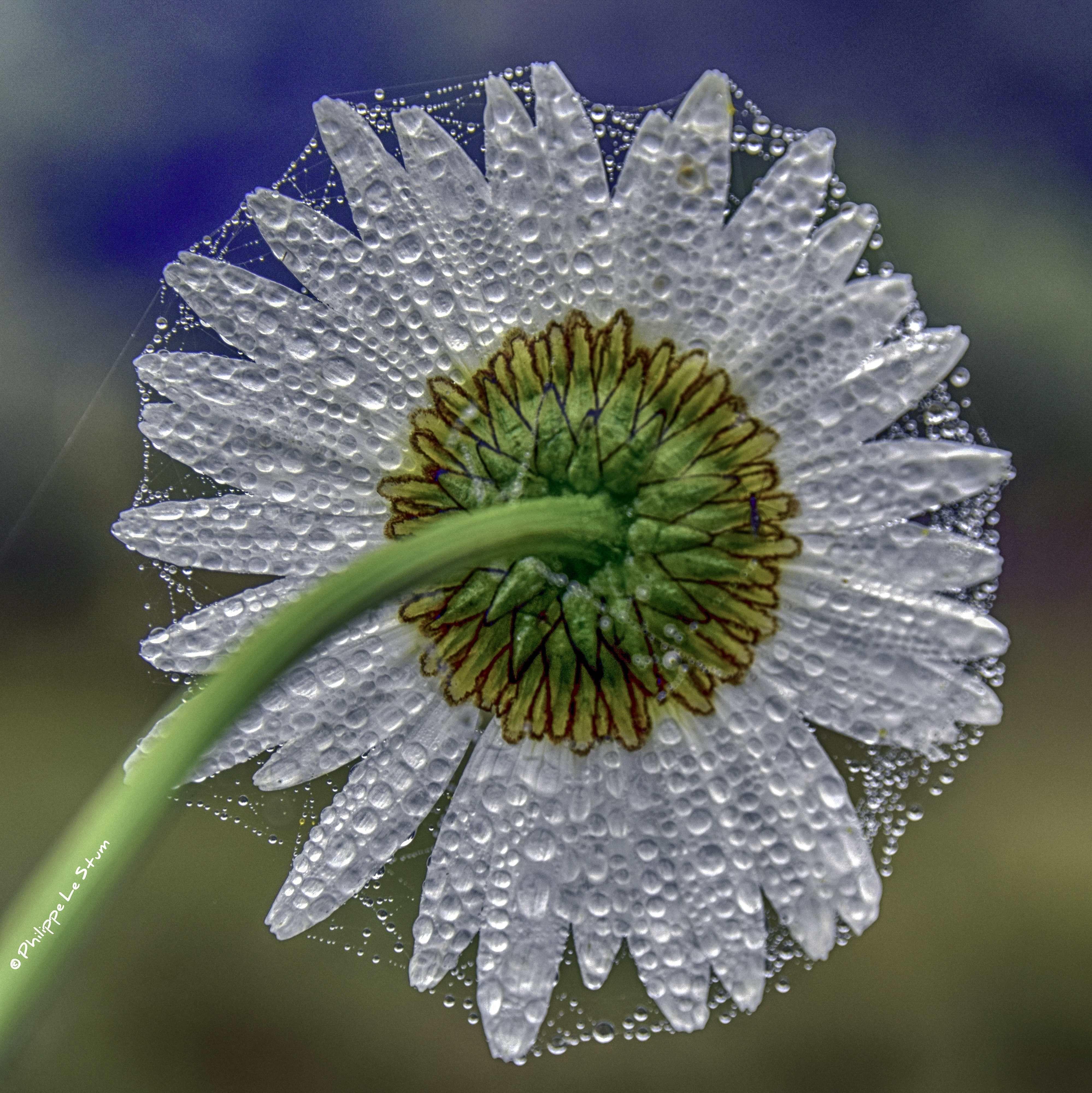 Almost Haunting Presque Envoûtante © Philippe Le Stum Photography #haunting #flowers #envoutante #web #toile #dew #rosée #photography #nature #macrophotography #PhilippeLeStum