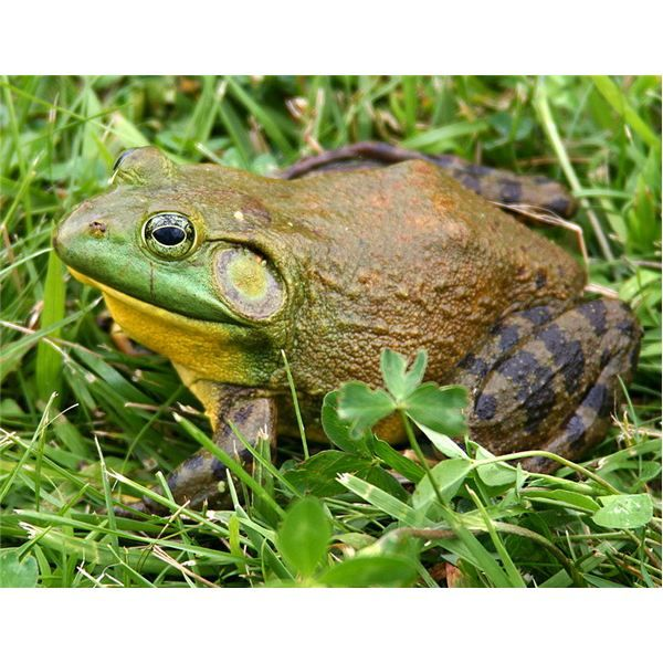 North America Bullfrog Habitat, Diet, Reproduction