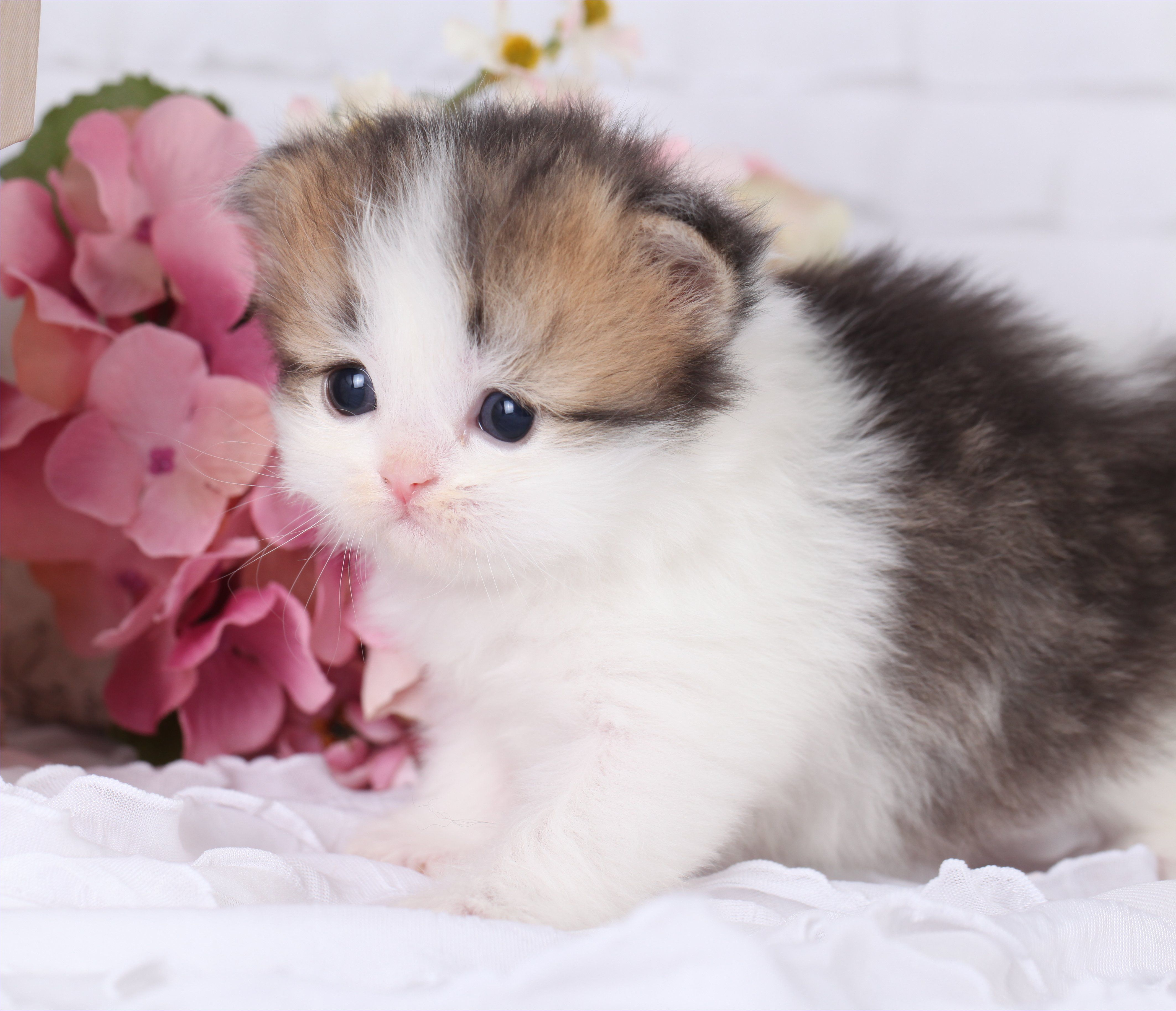 Teacup Rug Hugger Persian Kittens Funny Cat Dog Pictures