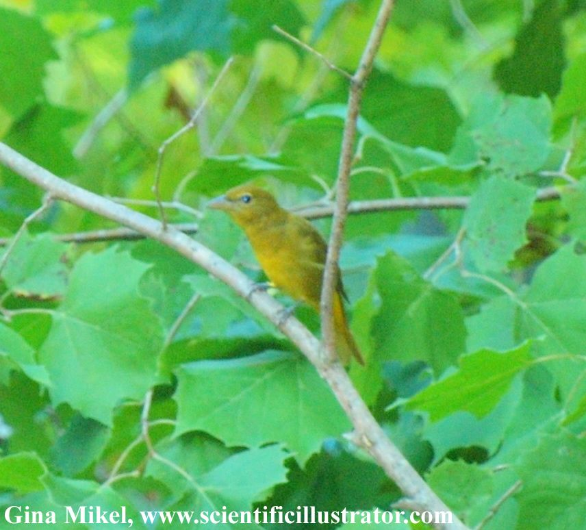 Summer Tanager, female, Young Conservation Area, near St Louis, Missouri (Gina Mikel, scientificillustrator.com)