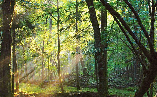 Primeval forest. Poland
