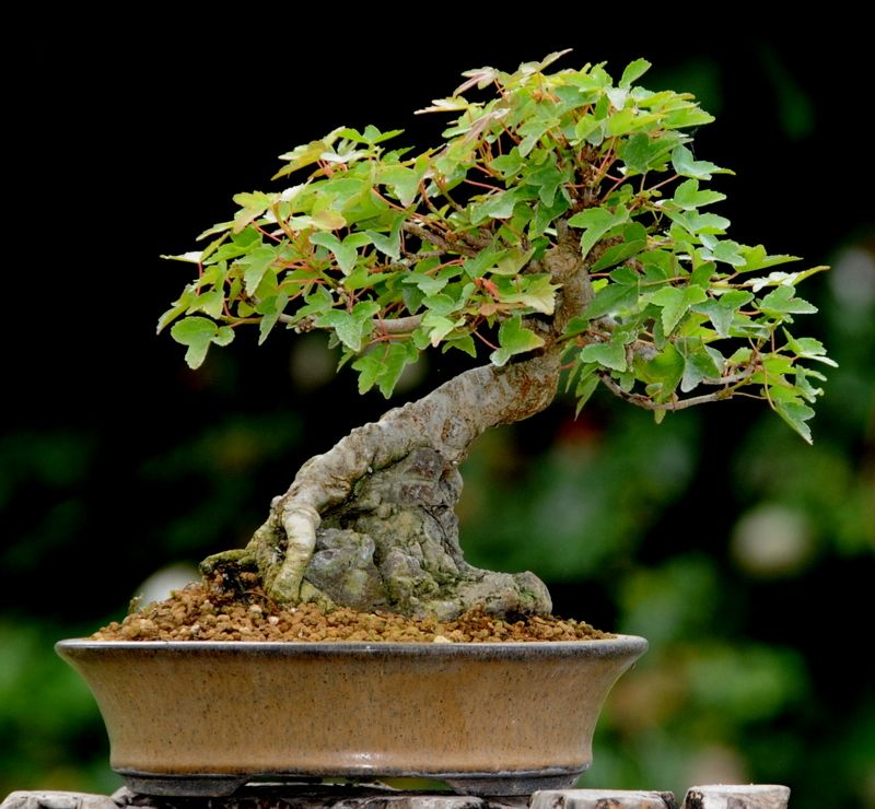 mame bonsai | mame acer buergerianum sur roche acer buergerianum sur roche mame