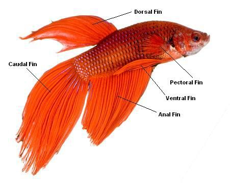 Betta fish anatomy | pet fish | Pinterest | Fish anatomy, Betta fish ...