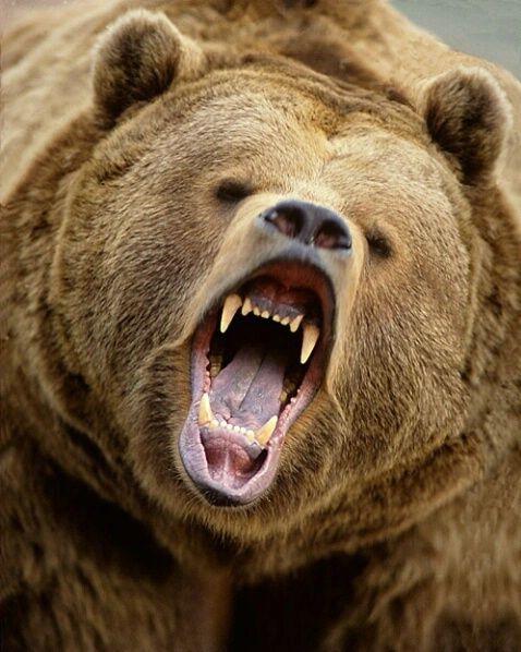 Fo 865 Photograph At Betterphoto Com North American Wildlife Kodiak Bear Grizzly Bear