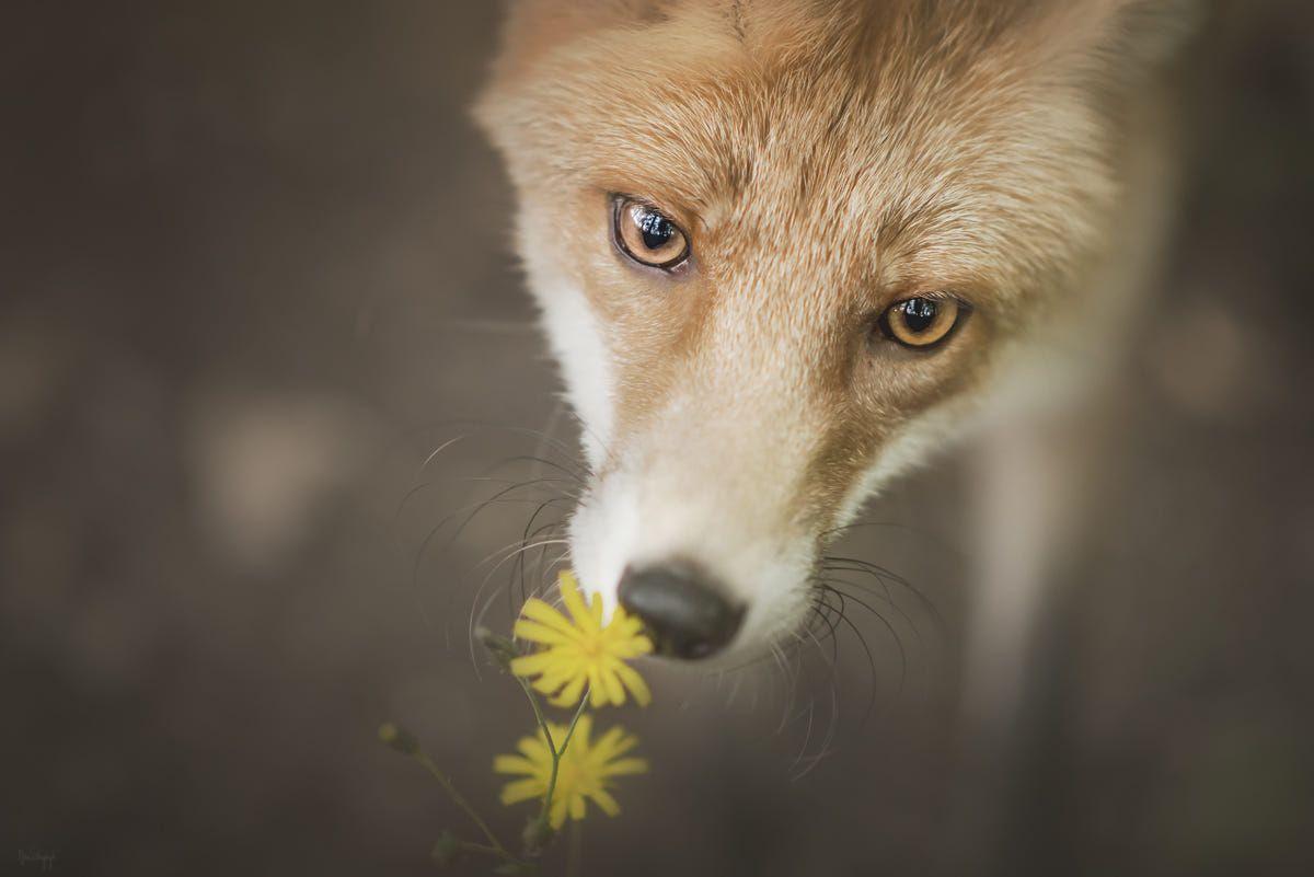 Red Fox by Anna Przybył on 500px