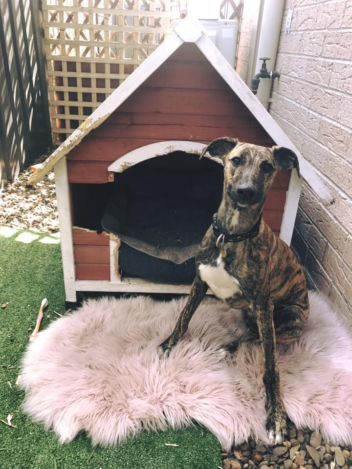Whippet destroyed his dog house. #dogshaming #dogs #pets #whippet #sighthound