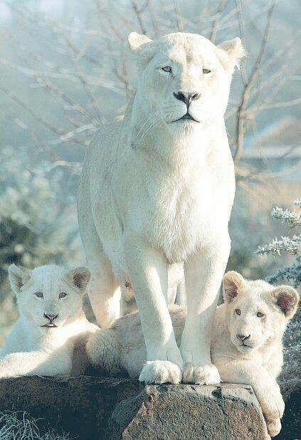 lionne & ses petits