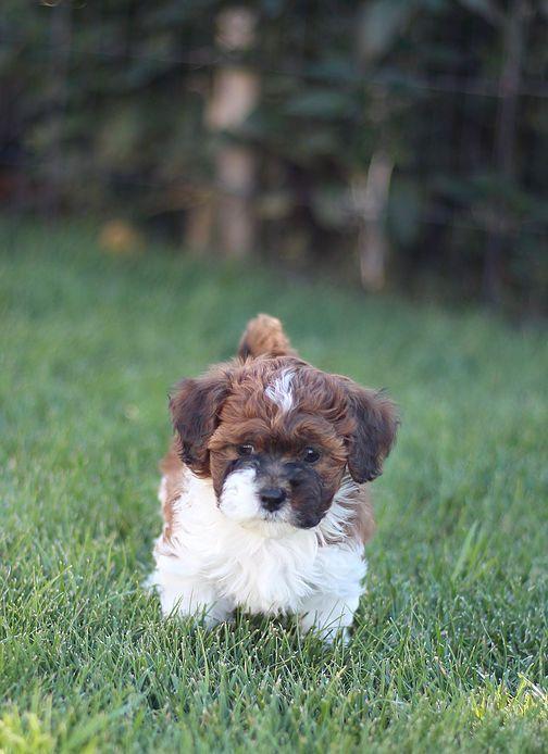 Bichon Shih Tzu Shichon Zuchon Puppies For Sale Quality Bred Family Dogs Calgary Alberta Canada Puppies Shih Tzu Dog Breeds