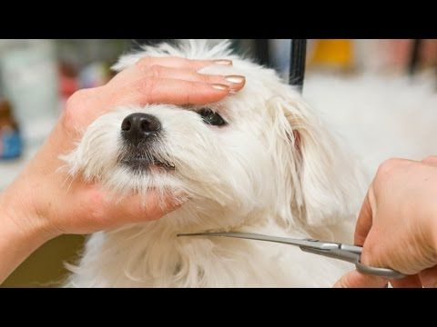 How To Trim Your Dog S Face Hair With Scissors Youtube Dog