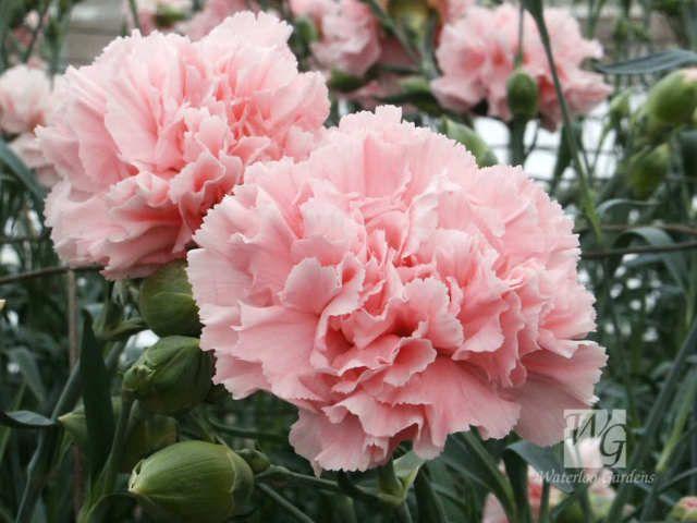 50 La France Pink Carnation Dianthus Caryophyllus Chabaud Flower Seeds Comb S H Carnation Flower Pink Carnations Flower Seeds