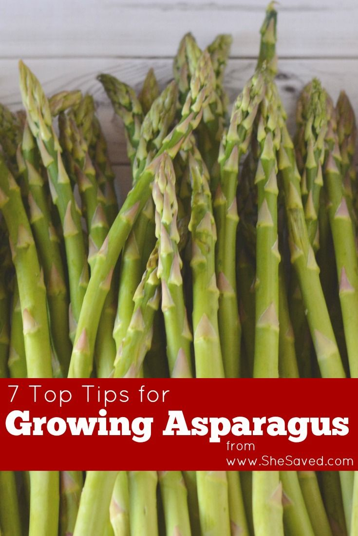 7 top tips for growing asparagus asparagus gardens and plants