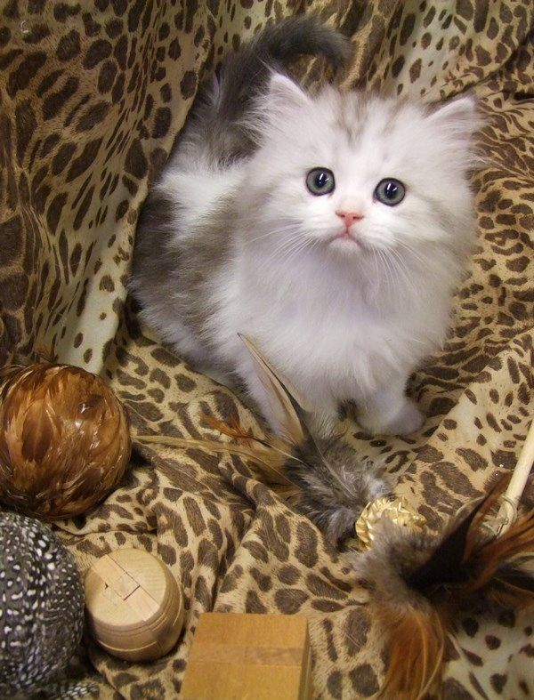 Ragamuffin Kittens kittens Pinterest Kittens