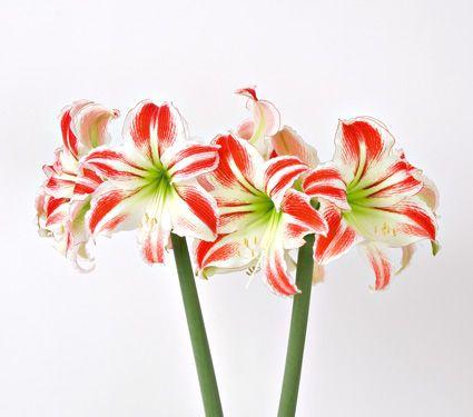 Amaryllis Amorice Bulb Only White Flower Farm Amaryllis Christmas Flowers