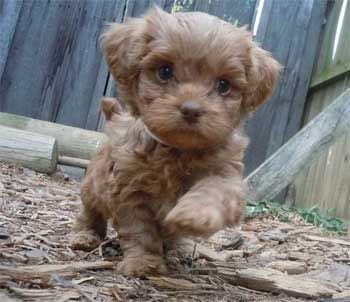 Sparkle's Shih Poo Puppies for Sale Sunny Day