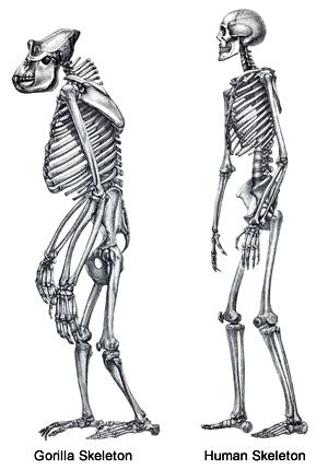 the skeletal structure of a human being (left) and of a gorilla, Skeleton