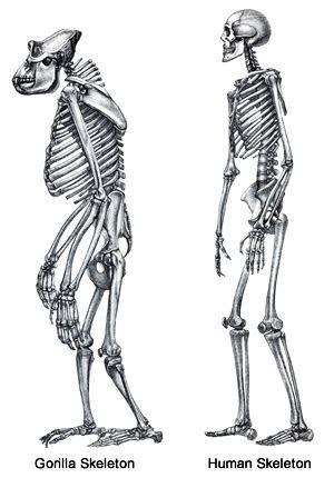 Human vs Gorilla Skeleton | GORILLA ANATOMY | Pinterest