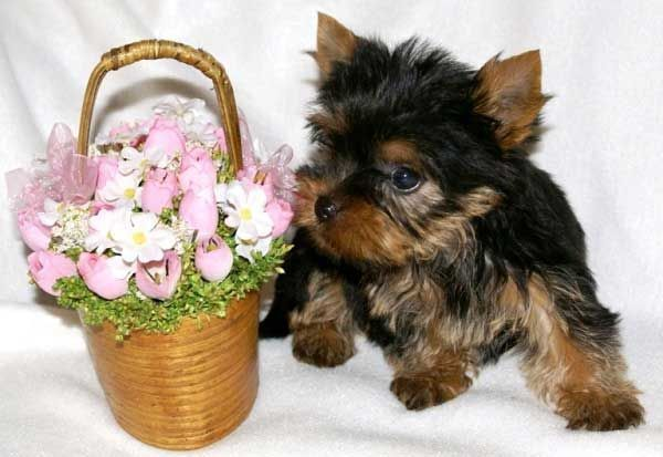 Yorkie puppy growth picture yorkiestuff Toy yorkshire