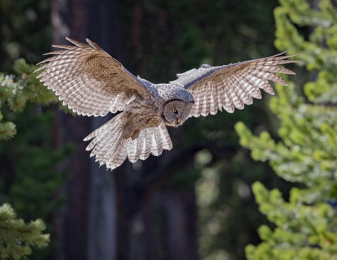 Similar to other owls, Great Gray Owls have asymmetrical ...