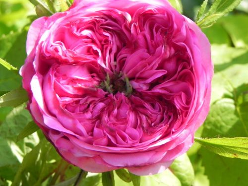 Rosa centifolia, rose des Peintres, rose chou. Originaire des Flandres Espagnoles. Très parfumée.