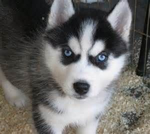 Baby Huskies With Blue Eyes Bing Images Siberian Husky Puppies Husky Puppy Puppies With Blue Eyes
