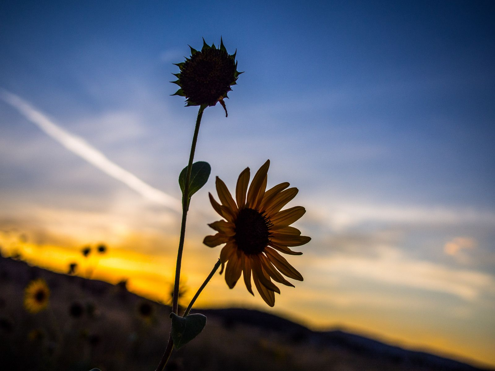 some sunflowers at sunset, Pocatello Idaho from west bench