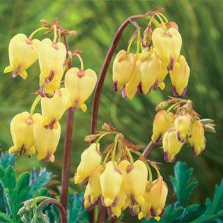 Shade Perennials Dicentra Sulphur Hearts Easy To Grow Bulbs Shade Perennials Bleeding Heart Flower