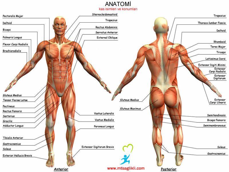 http://www.fitnessbilim.com/forum/soru-amp-cevap/2165-kas-guruplari ...