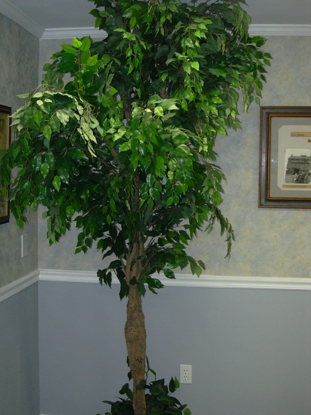 Now that's a Ficus Benjamina. Plantas de interior