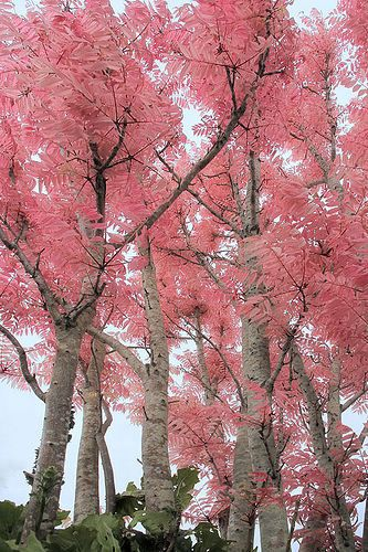 Every Year In Spring People Ask What S That Pink Tree I Saw This Is The Chinese Cedar Or Toon Which Features Beautiful Leaves