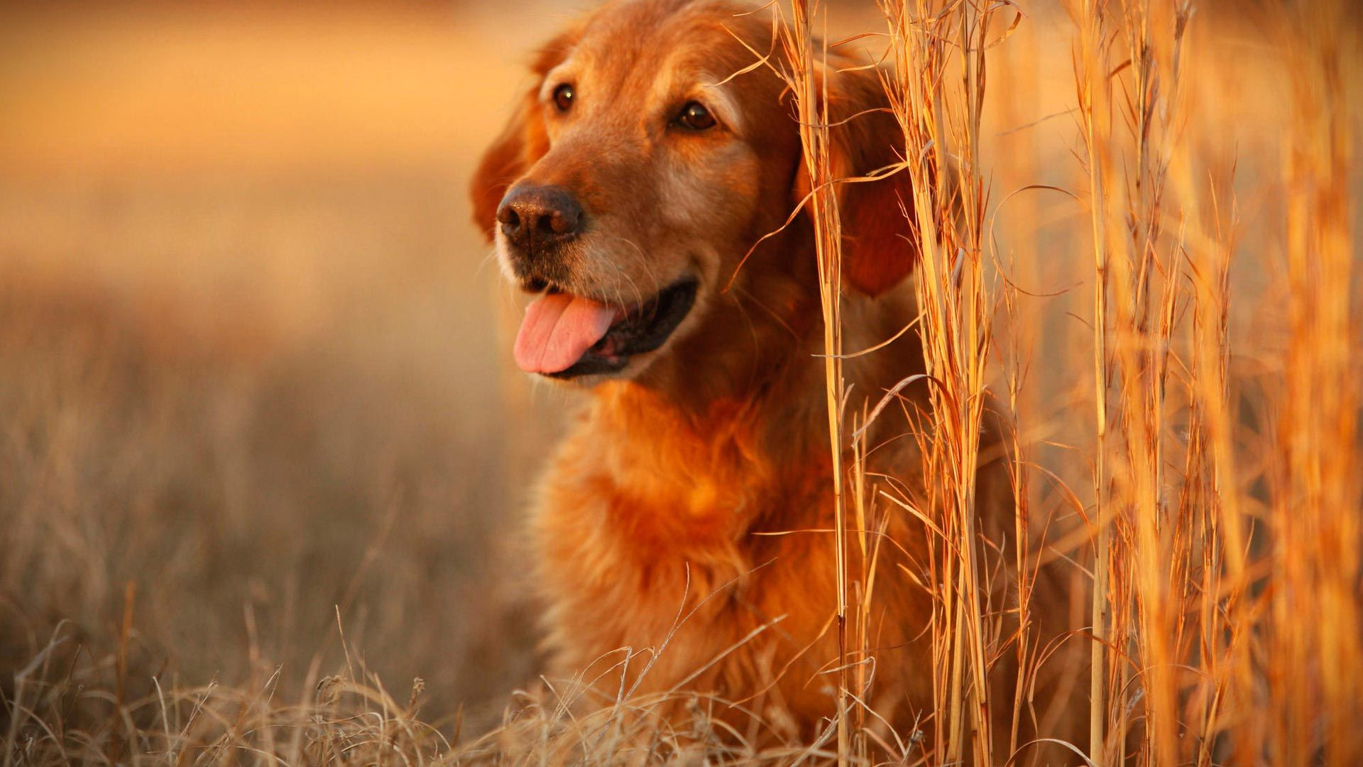 Wallpapers For Desktop Background Full Screen Hd Free Download Hd Desktop Wallpapers 1080p Dog Wallpaper Cute Dog Pictures Dog Images Hd