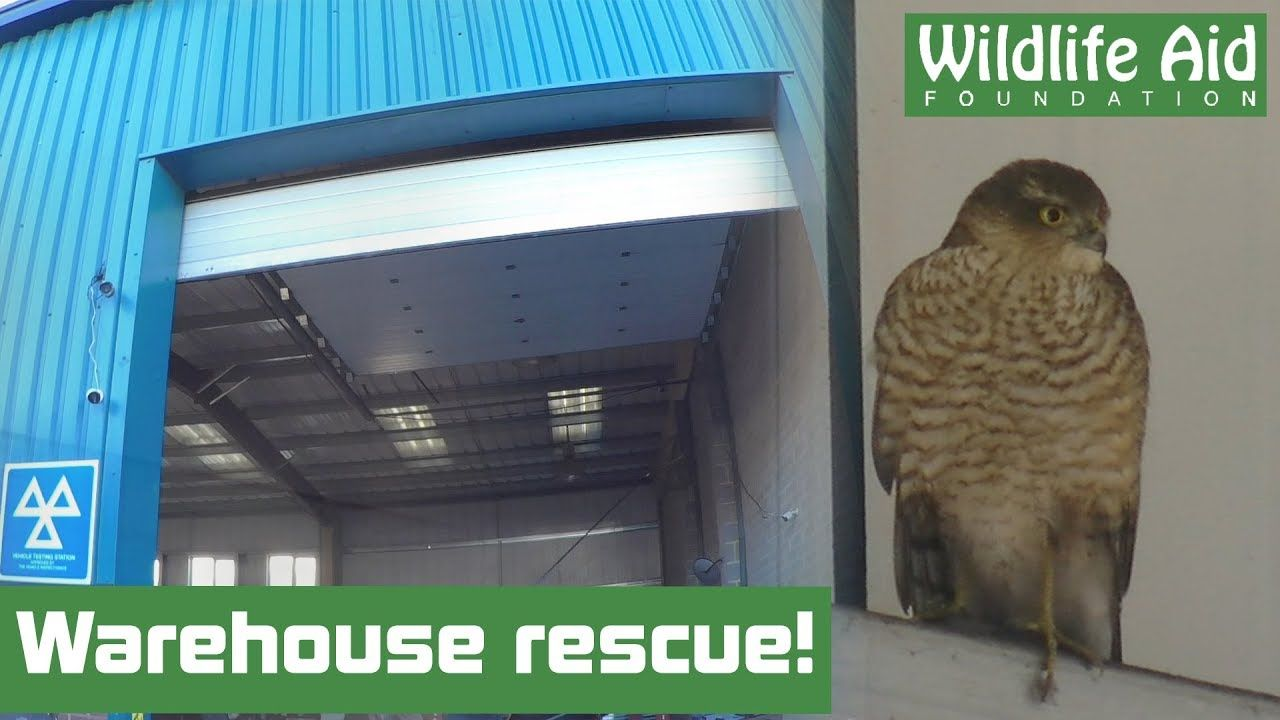 Trapped Bird of Prey Outwits Rescuers! Animal Rescue