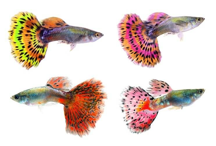 The Complete Guppy Care Guide Breeding Tank Requirements Fancy Varieties Fishkeeping World Guppy Fish Guppy Tropical Fish Pictures