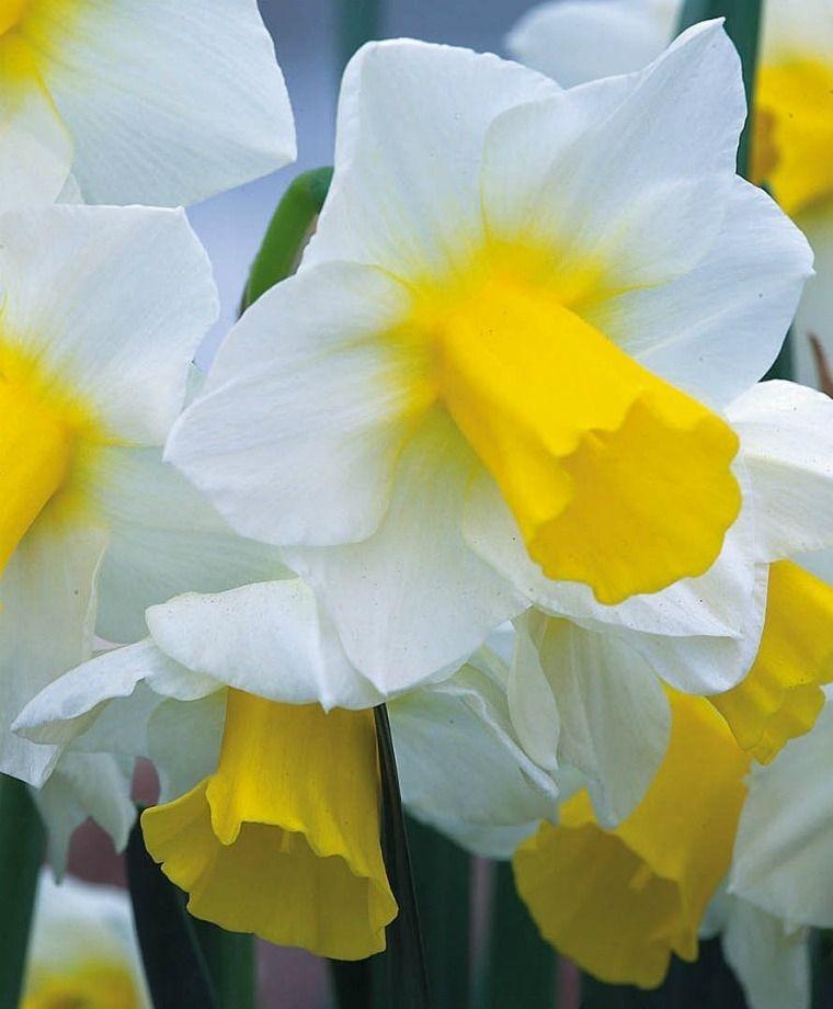 Narcissus Golden Echo Jonquilla Narcissi Narcissi Flower Bulb Index Daffodils Flowers Bulb Flowers Daffodils