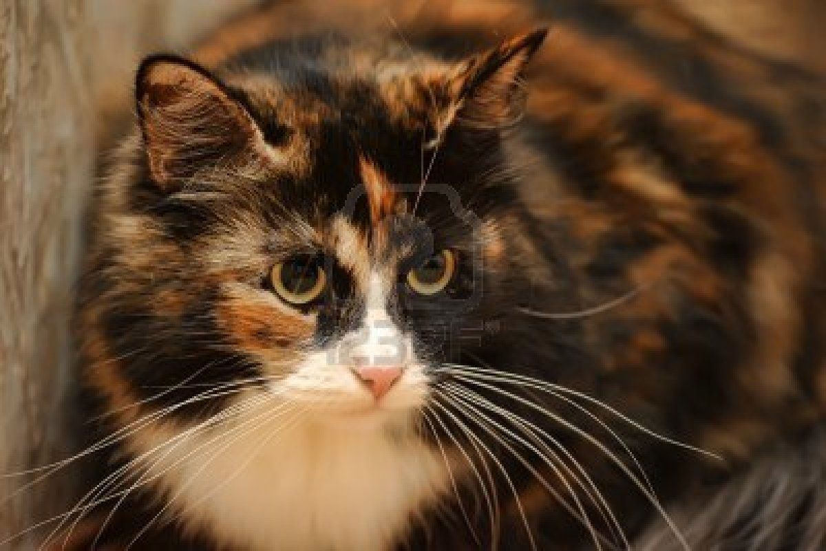 tricolor fluffly cat Animals, Cats