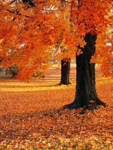 Maple Trees in Autumn Photographic Print by Kathleen Brown #autumnscenes