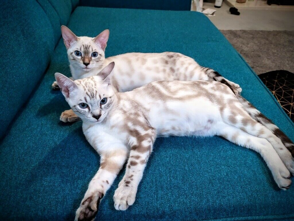 Best +30 Pictures of Bengal Cats and Kittens in 2020