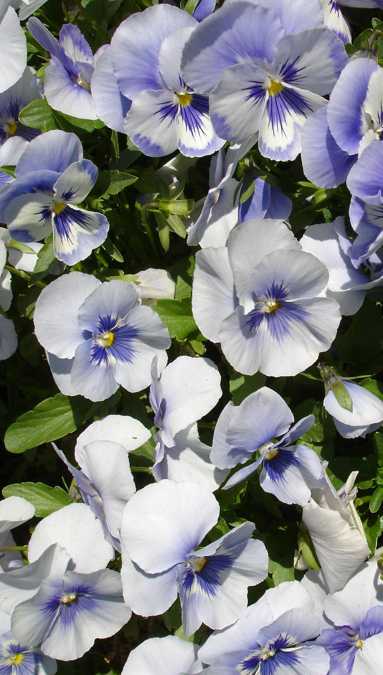 Purple and White Viola Blooming flowers, Beautiful