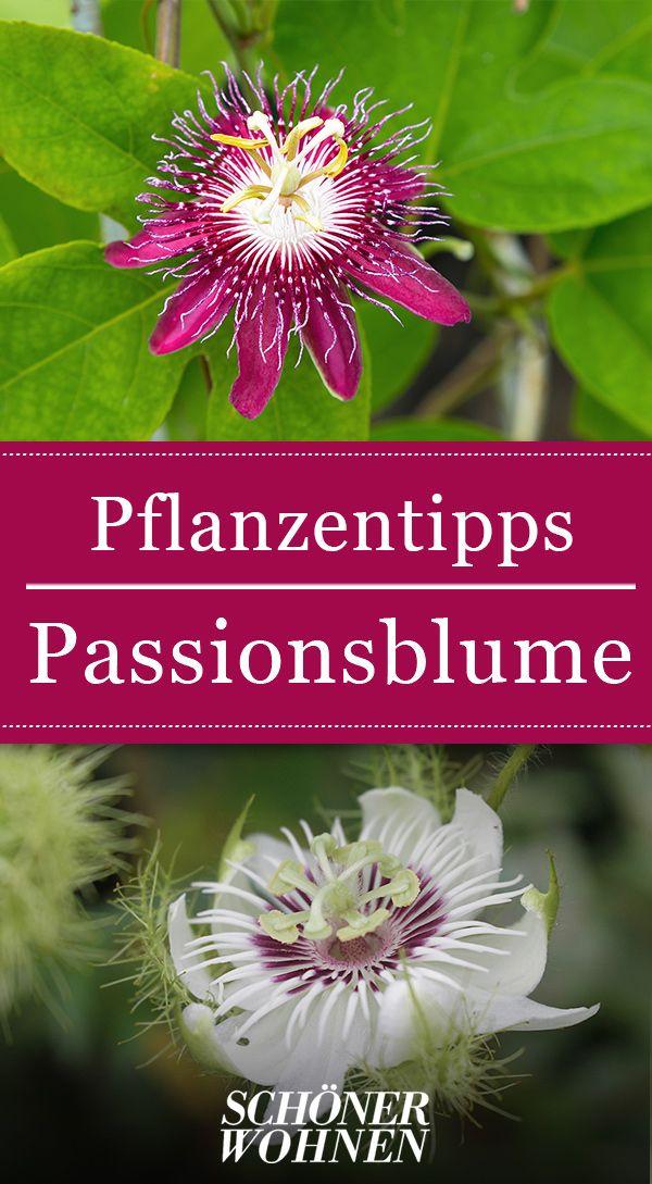 Passionsblume – überwintern, vermehren, Blütezeit