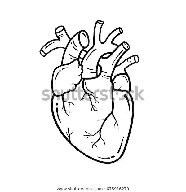 Anatomical Heart Line Art Illustration Vector Stock Vector Royalty Free 675916270 Human Heart Drawing Heart Drawing Anatomical Heart Art